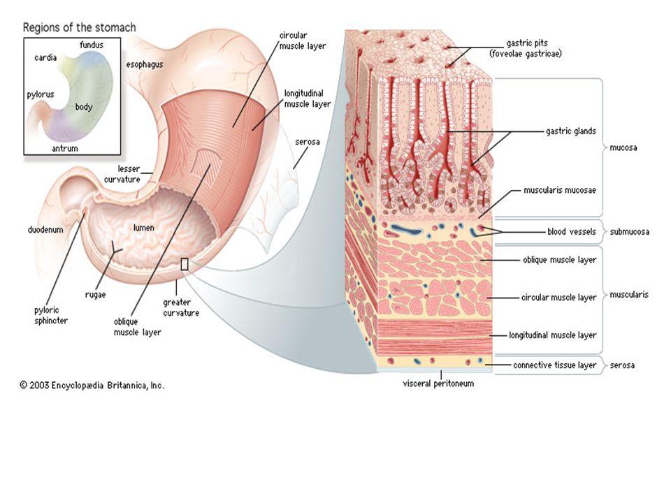 Midede 4 bölge tanımlanır 1.Kardiya; yemek borusunun başlangıcını saran 2-3cm genişliğindeki bölge 2.Fundus; yemek borusu başlangıcının soluna uzanır 3.Korpus (body); geniş merkezi bölge 4.Pilor; midenin duodenuma açıldığı yerde son bulur.