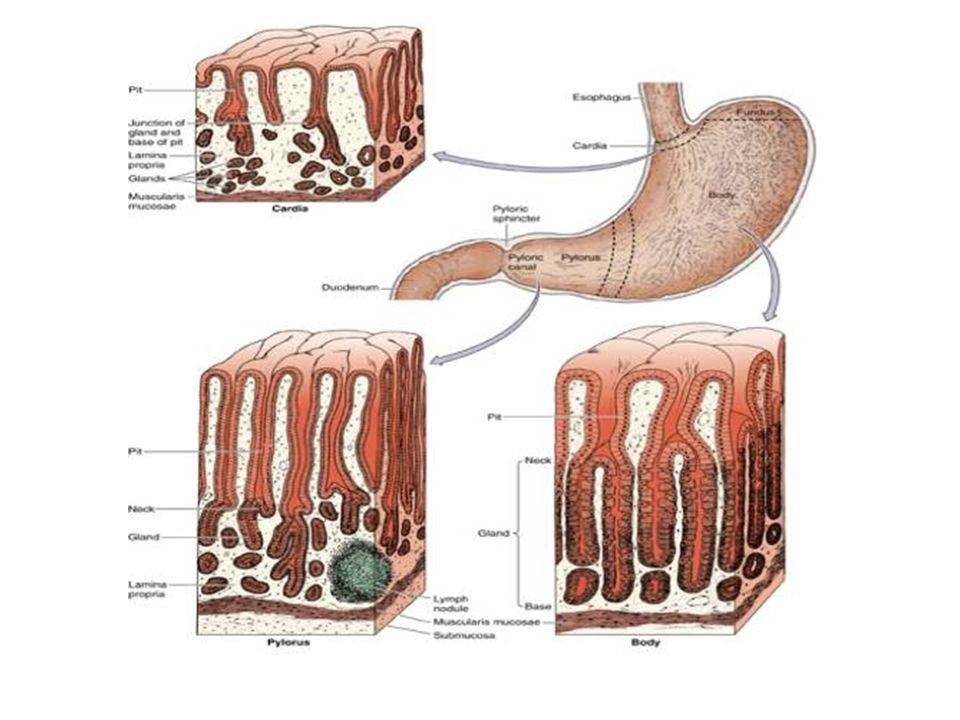 Mide Bezi (Fundus-Korpus bölgesi) Mide bezi 3 kısımdır; 1.Yüzeyi müköz hücreler ile döşeli çukur-çukurcuk 2.Müköz boyun hücreleri, mitotik olarak aktif kök hücreler ve pariyetal hücreleri içeren boyun 3.Büyük uzun bezlerle temsil edilen, korpus
