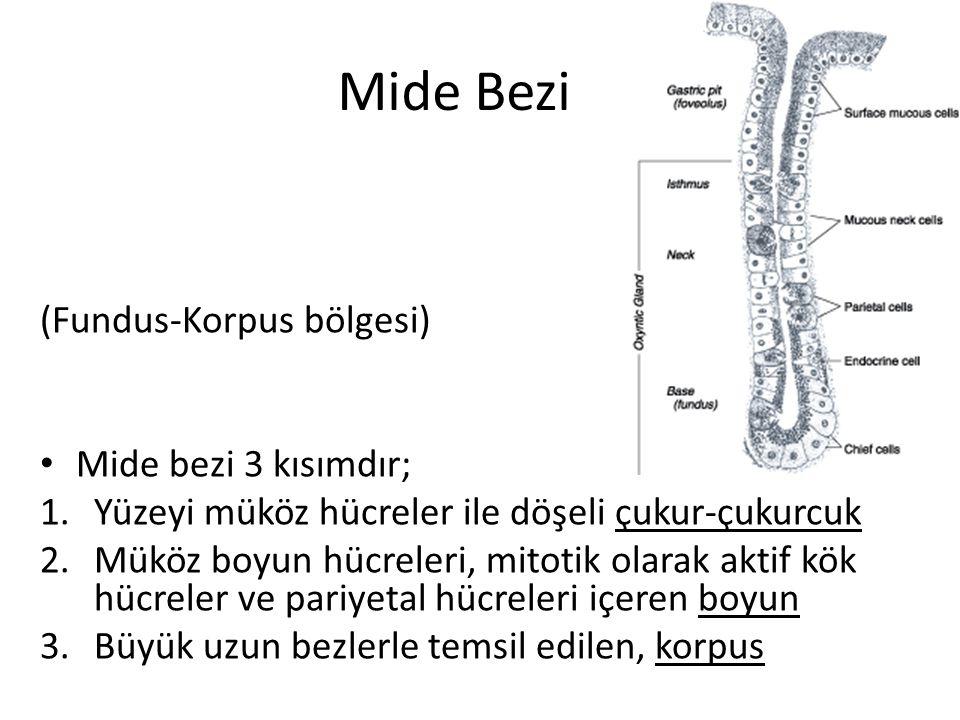 Mide Bezi (Fundus-Korpus bölgesi) Mide bezi 3 kısımdır; 1.Yüzeyi müköz hücreler ile döşeli çukur-çukurcuk 2.Müköz boyun hücreleri, mitotik olarak akti