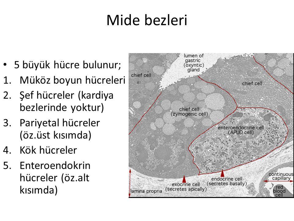Mide bezleri 5 büyük hücre bulunur; 1.Müköz boyun hücreleri 2.Şef hücreler (kardiya bezlerinde yoktur) 3.Pariyetal hücreler (öz.üst kısımda) 4.Kök hüc