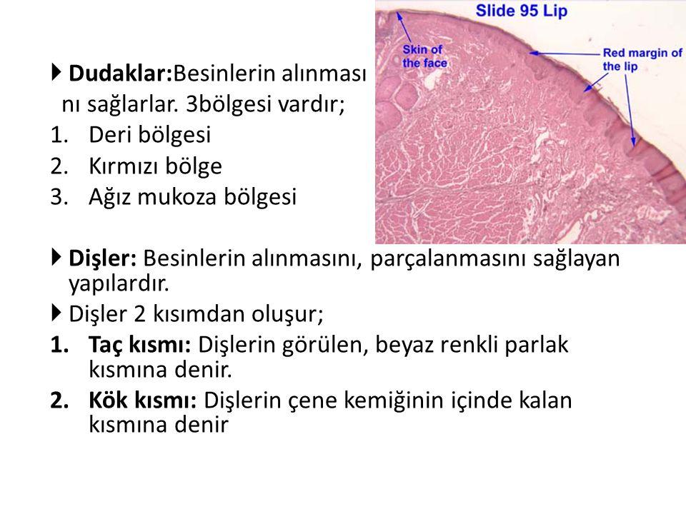  Dudaklar:Besinlerin alınması nı sağlarlar. 3bölgesi vardır; 1.Deri bölgesi 2.Kırmızı bölge 3.Ağız mukoza bölgesi  Dişler: Besinlerin alınmasını, pa