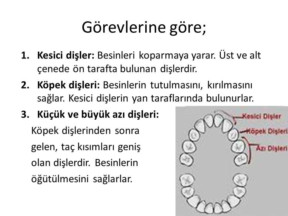 1.Kesici dişler: Besinleri koparmaya yarar. Üst ve alt çenede ön tarafta bulunan dişlerdir. 2.Köpek dişleri: Besinlerin tutulmasını, kırılmasını sağla