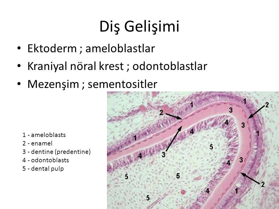 Ektoderm ; ameloblastlar Kraniyal nöral krest ; odontoblastlar Mezenşim ; sementositler Diş Gelişimi 1 - ameloblasts 2 - enamel 3 - dentine (predentin
