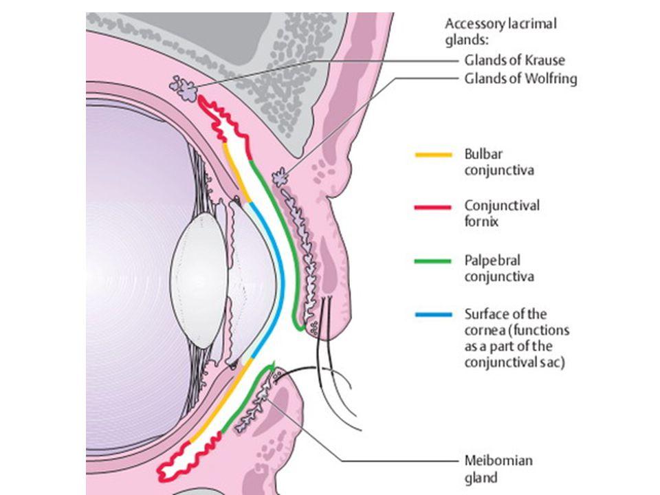 KONJONKTİVA Kapak konjonktivası: - Göz kapaklarının altındaki kısımdır.