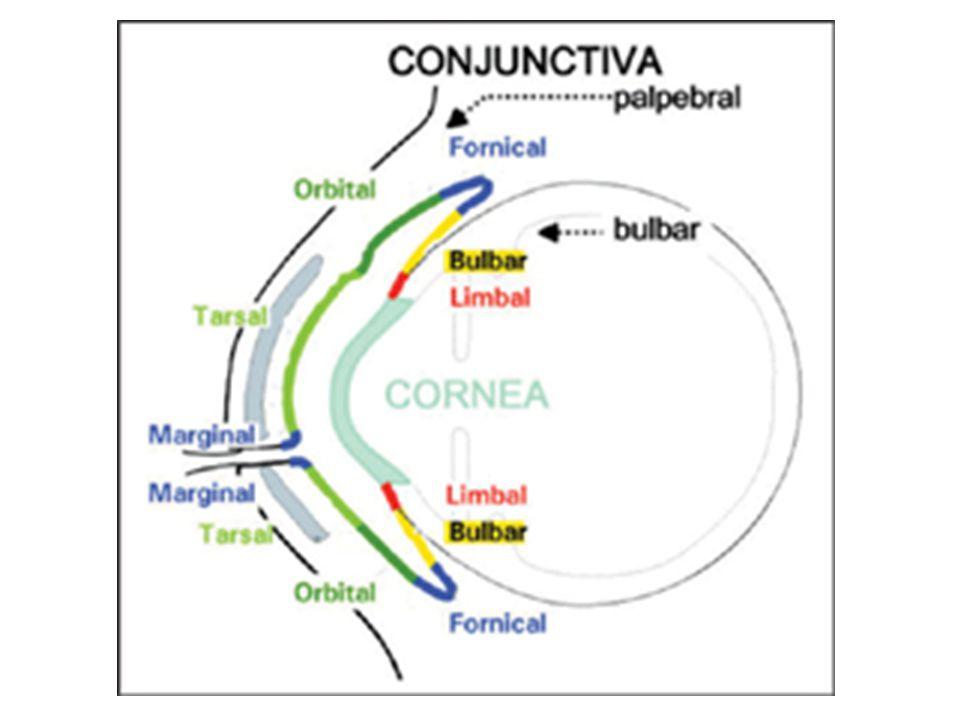 KONJONKTİVA - Göz yaş bezinin kanalları üst lateral fornikse açılır.