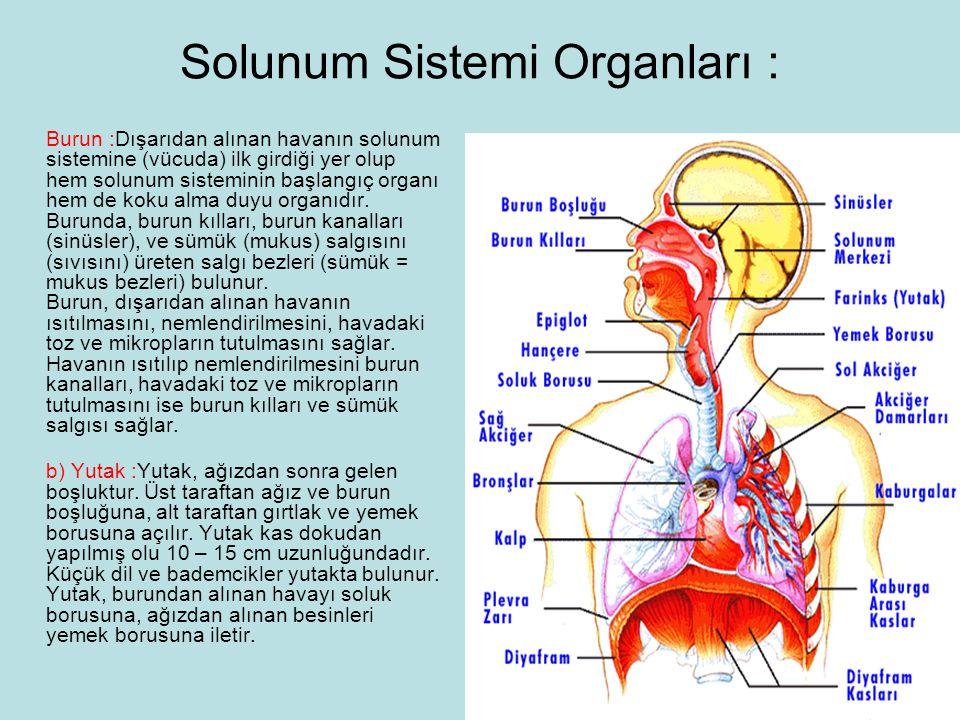 Solunum Sistemi Organları : Burun :Dışarıdan alınan havanın solunum sistemine (vücuda) ilk girdiği yer olup hem solunum sisteminin başlangıç organı hem de koku alma duyu organıdır.