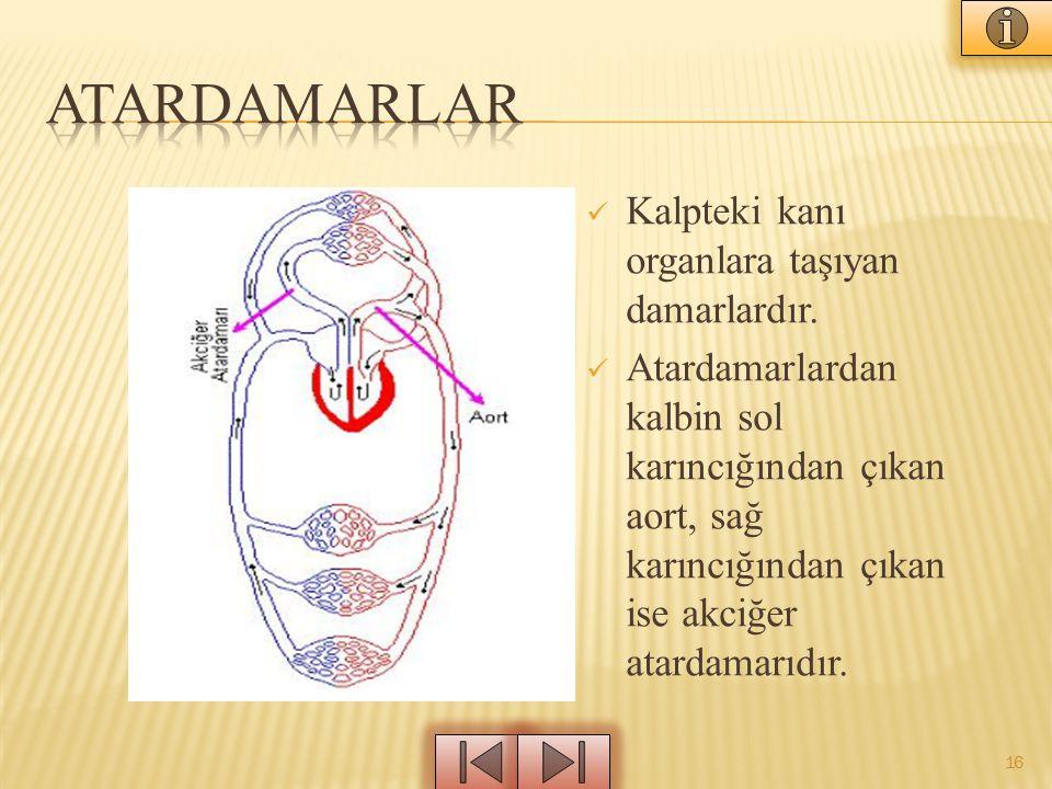 Kalpteki kanı organlara taşıyan damarlardır. Atardamarlardan kalbin sol karıncığından çıkan aort, sağ karıncığından çıkan ise akciğer atardamarıdır. 1