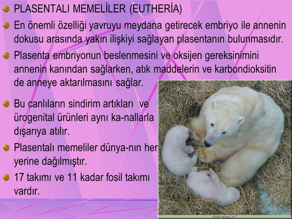 PLASENTALI MEMELİLER (EUTHERİA) En önemli özelliği yavruyu meydana getirecek embriyo ile annenin dokusu arasında yakın ilişkiyi sağlayan plasentanın bulunmasıdır.