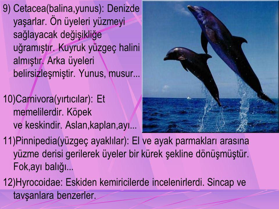 9) Cetacea(balina,yunus): Denizde yaşarlar.Ön üyeleri yüzmeyi sağlayacak değişikliğe uğramıştır.