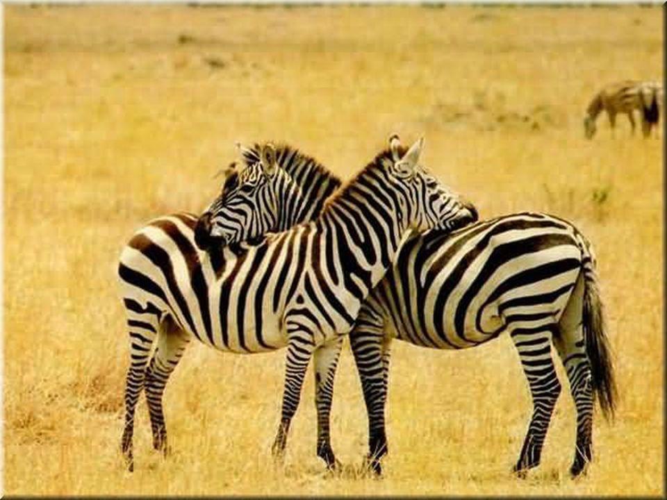 13)Proboscidea (hortumlular): En büyük karasal hayvanlardır.