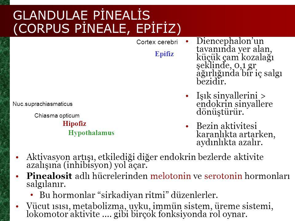 Chiasma opticum Epifiz Nuc.suprachiasmaticus Hipofiz GLANDULAE PİNEALİS (CORPUS PİNEALE, EPİFİZ) Hypothalamus Diencephalon'un tavanında yer alan, küçü