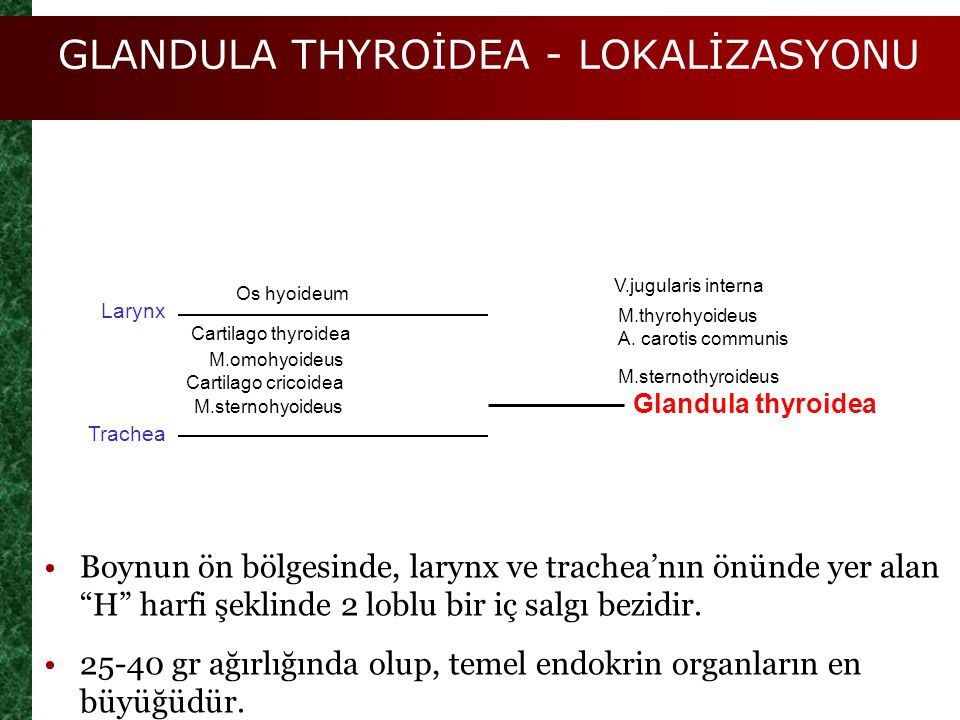 GLANDULA THYROİDEA - LOKALİZASYONU Os hyoideum Cartilago thyroidea M.omohyoideus Cartilago cricoidea M.sternohyoideus V.jugularis interna M.thyrohyoid