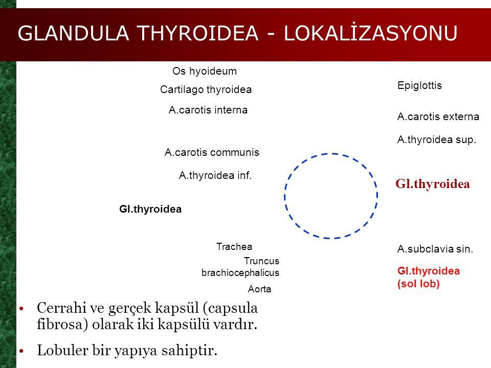 GLANDULA THYROIDEA - LOKALİZASYONU Figure 25.8a Gl.thyroidea Os hyoideum Cartilago thyroidea A.carotis interna A.carotis communis A.thyroidea inf. A.c