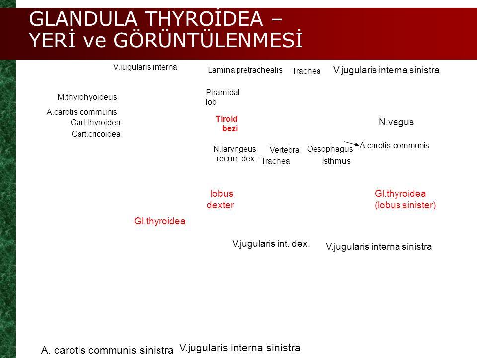 GLANDULA THYROİDEA – YERİ ve GÖRÜNTÜLENMESİ A. carotis communis sinistra V.jugularis interna sinistra V.jugularis int. dex. Gl.thyroidea (lobus sinist