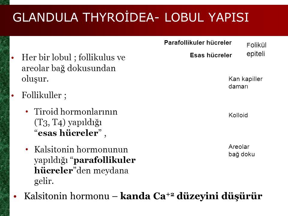 GLANDULA THYROİDEA- LOBUL YAPISI Figure 25.8c Esas hücreler Parafollikuler hücreler F olikül epiteli Kan kapiller damarı Kolloid Areolar bağ doku Her