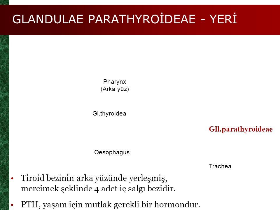 GLANDULAE PARATHYROİDEAE - YERİ Figure 25.9a Gll.parathyroideae Pharynx (Arka yüz) Gl.thyroidea Oesophagus Trachea Tiroid bezinin arka yüzünde yerleşm