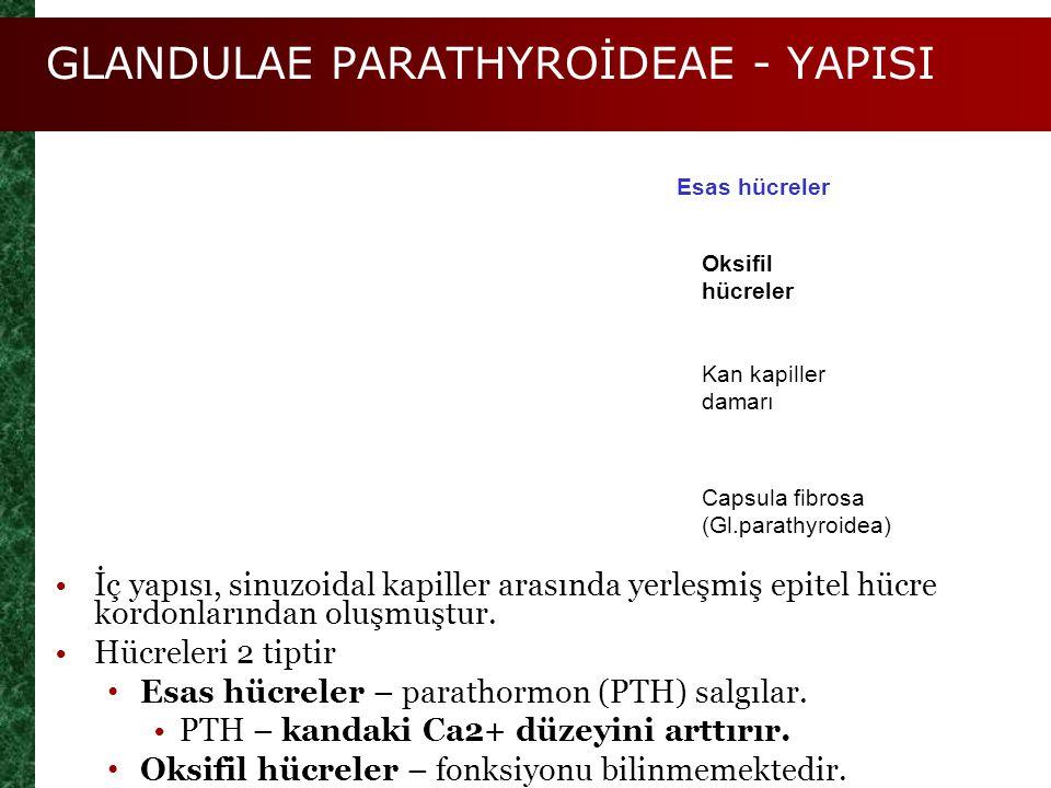 GLANDULAE PARATHYROİDEAE - YAPISI Figure 25.9c Esas hücreler Oksifil hücreler Kan kapiller damarı Capsula fibrosa (Gl.parathyroidea) İç yapısı, sinuzo