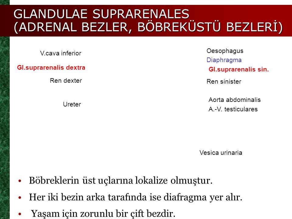 GLANDULAE SUPRARENALES (ADRENAL BEZLER, BÖBREKÜSTÜ BEZLERİ) V.cava inferior Oesophagus Diaphragma Gl.suprarenalis sin. Gl.suprarenalis dextra Ureter R
