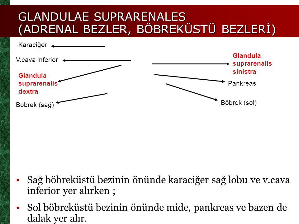 Glandula suprarenalis dextra Glandula suprarenalis sinistra GLANDULAE SUPRARENALES (ADRENAL BEZLER, BÖBREKÜSTÜ BEZLERİ) Böbrek (sağ) Böbrek (sol) Kara