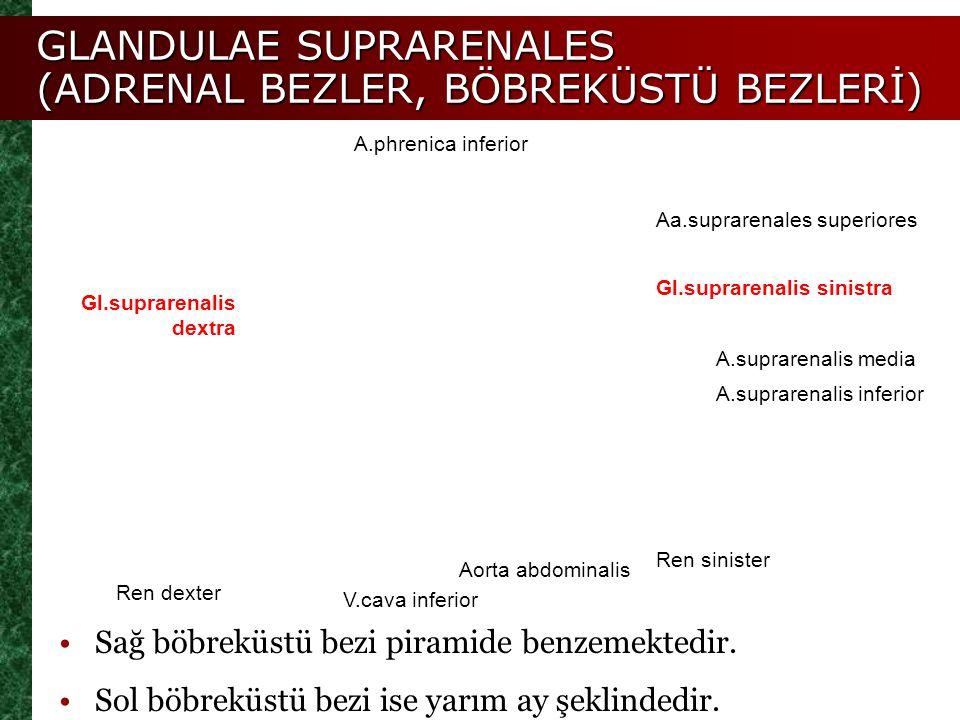 Gl.suprarenalis dextra Gl.suprarenalis sinistra Aa.suprarenales superiores A.suprarenalis media A.phrenica inferior A.suprarenalis inferior Ren dexter
