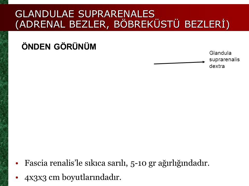 GLANDULAE SUPRARENALES (ADRENAL BEZLER, BÖBREKÜSTÜ BEZLERİ) Glandula suprarenalis dextra ÖNDEN GÖRÜNÜM Fascia renalis'le sıkıca sarılı, 5-10 gr ağırlı
