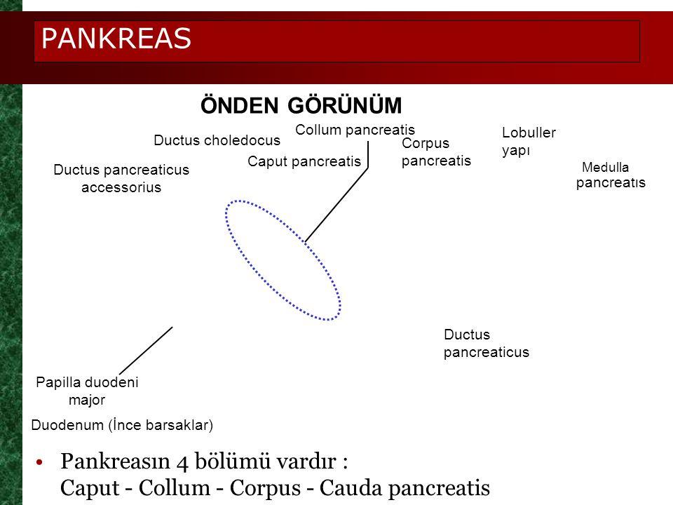 PANKREAS ÖNDEN GÖRÜNÜM Ductus pancreaticus accessorius Ductus choledocus Caput pancreatis Corpus pancreatis Cauda pancreatis Lobuller yapı Ductus panc
