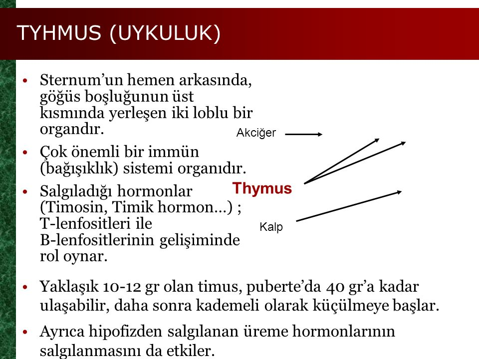 TYHMUS (UYKULUK) Sternum'un hemen arkasında, göğüs boşluğunun üst kısmında yerleşen iki loblu bir organdır. Çok önemli bir immün (bağışıklık) sistemi