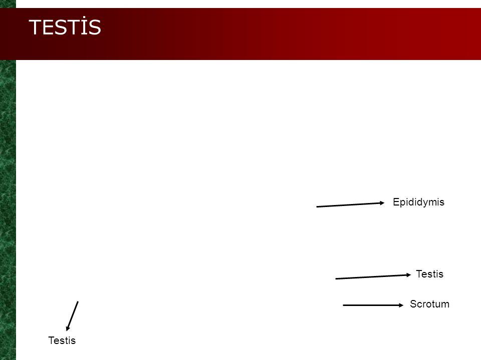 TESTİS Testis Epididymis Scrotum Testis