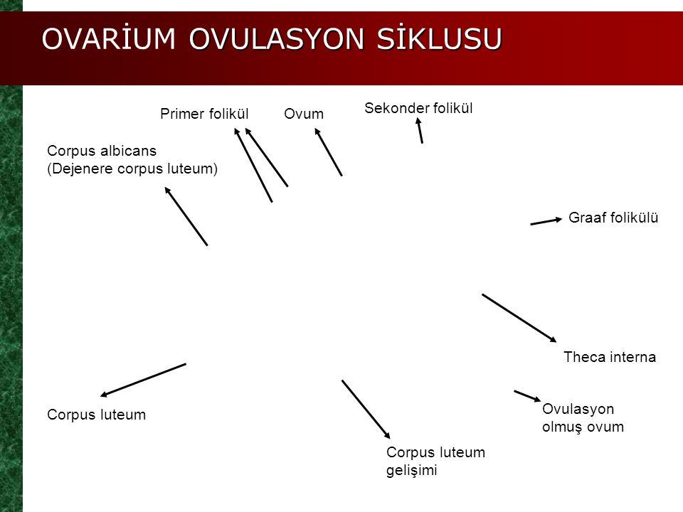 Graaf folikülü Theca interna Ovulasyon olmuş ovum Corpus luteum gelişimi Corpus luteum Corpus albicans (Dejenere corpus luteum) Primer folikül Sekonde