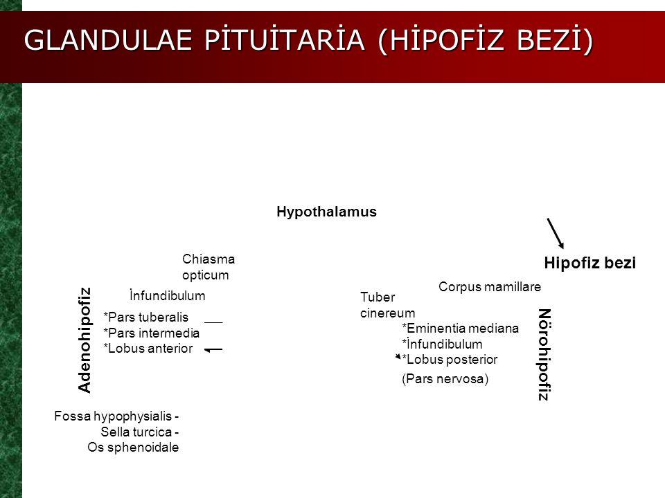 GLANDULAE PİTUİTARİA (HİPOFİZ BEZİ) Figure 25.3a-c *Eminentia mediana *İnfundibulum *Lobus posterior (Pars nervosa) İnfundibulum Adenohipofiz Fossa hy