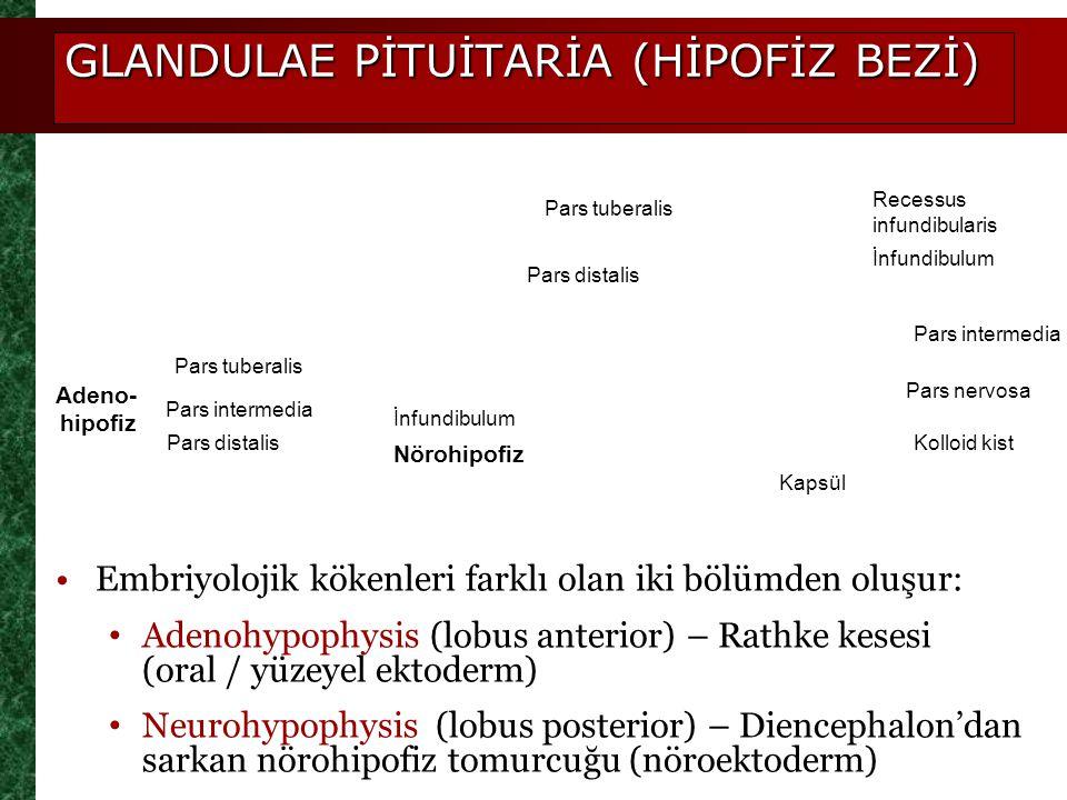 GLANDULAE PİTUİTARİA (HİPOFİZ BEZİ) Embriyolojik kökenleri farklı olan iki bölümden oluşur: Adenohypophysis (lobus anterior) – Rathke kesesi (oral / y