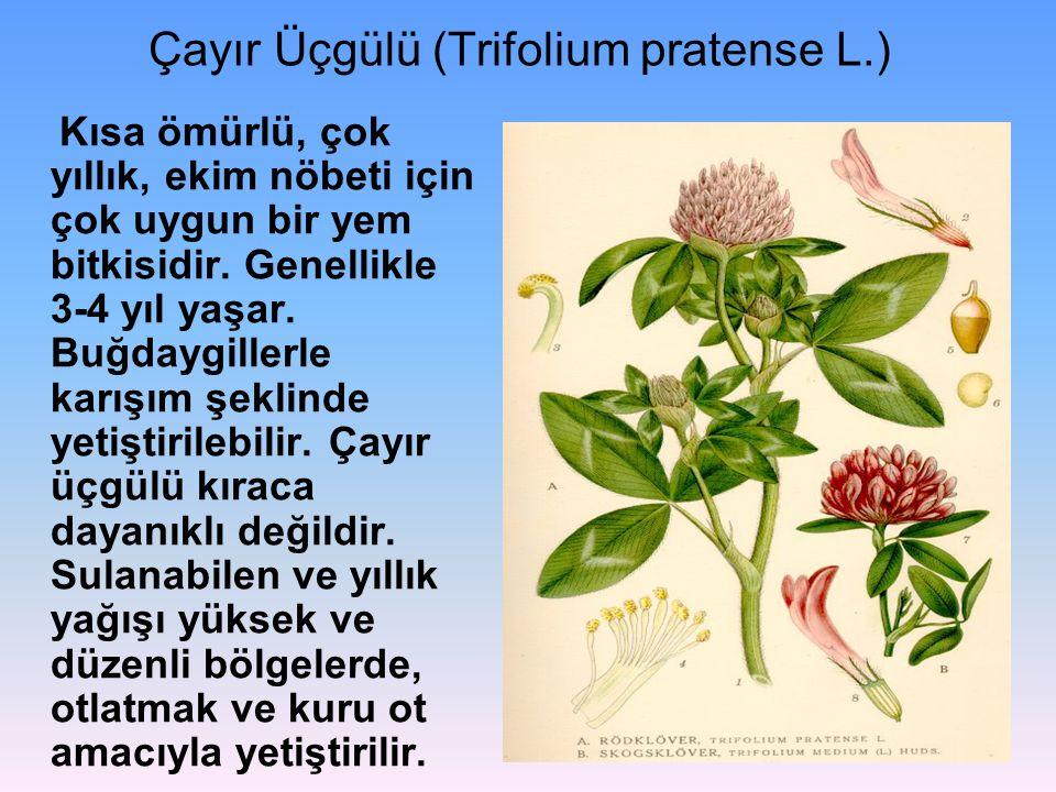 Çayır Üçgülü (Trifolium pratense L.) Kısa ömürlü, çok yıllık, ekim nöbeti için çok uygun bir yem bitkisidir. Genellikle 3-4 yıl yaşar. Buğdaygillerle