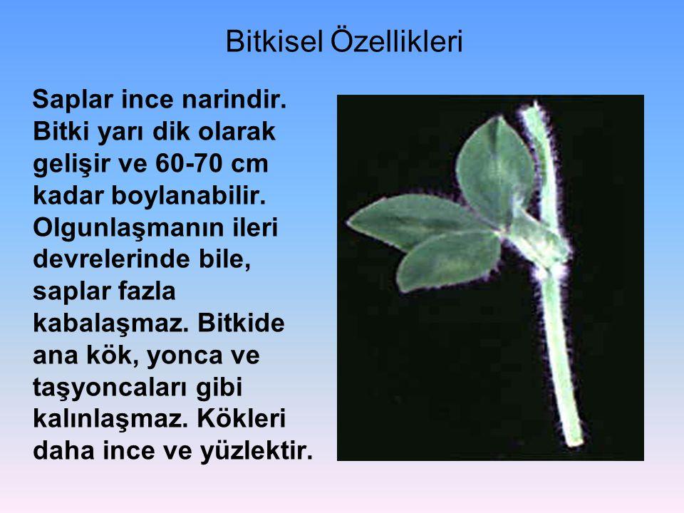 Bitkisel Özellikleri Saplar ince narindir. Bitki yarı dik olarak gelişir ve 60-70 cm kadar boylanabilir. Olgunlaşmanın ileri devrelerinde bile, saplar