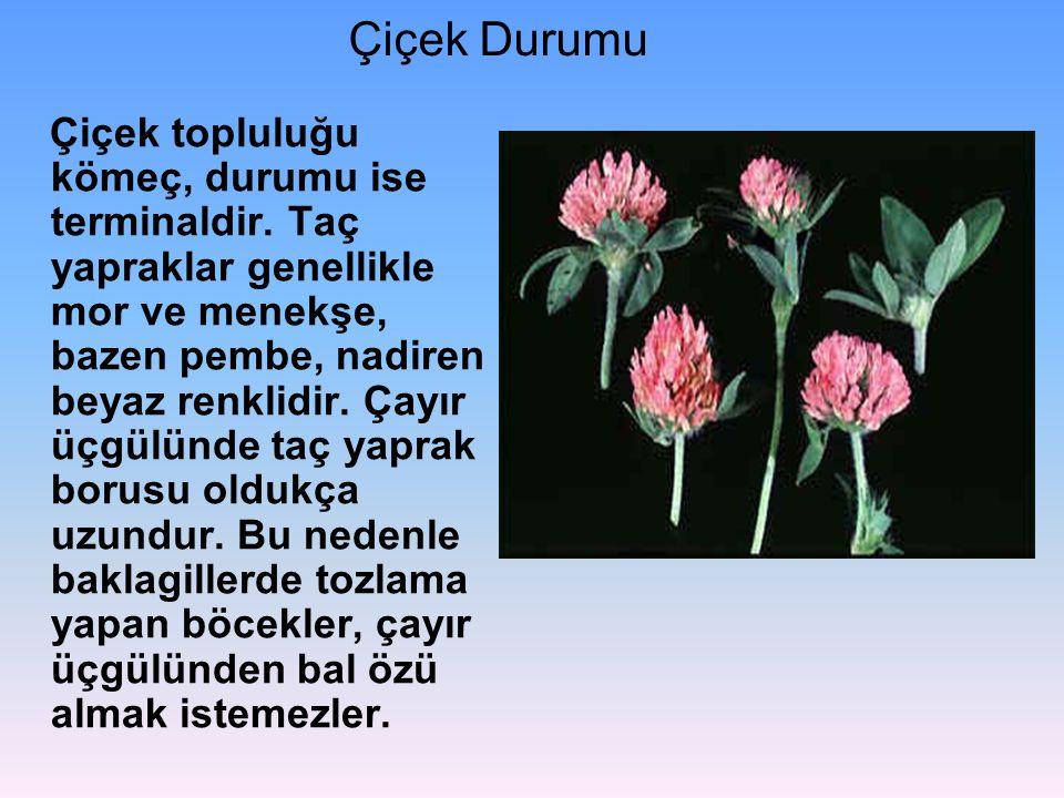 Çiçek Durumu Çiçek topluluğu kömeç, durumu ise terminaldir. Taç yapraklar genellikle mor ve menekşe, bazen pembe, nadiren beyaz renklidir. Çayır üçgül