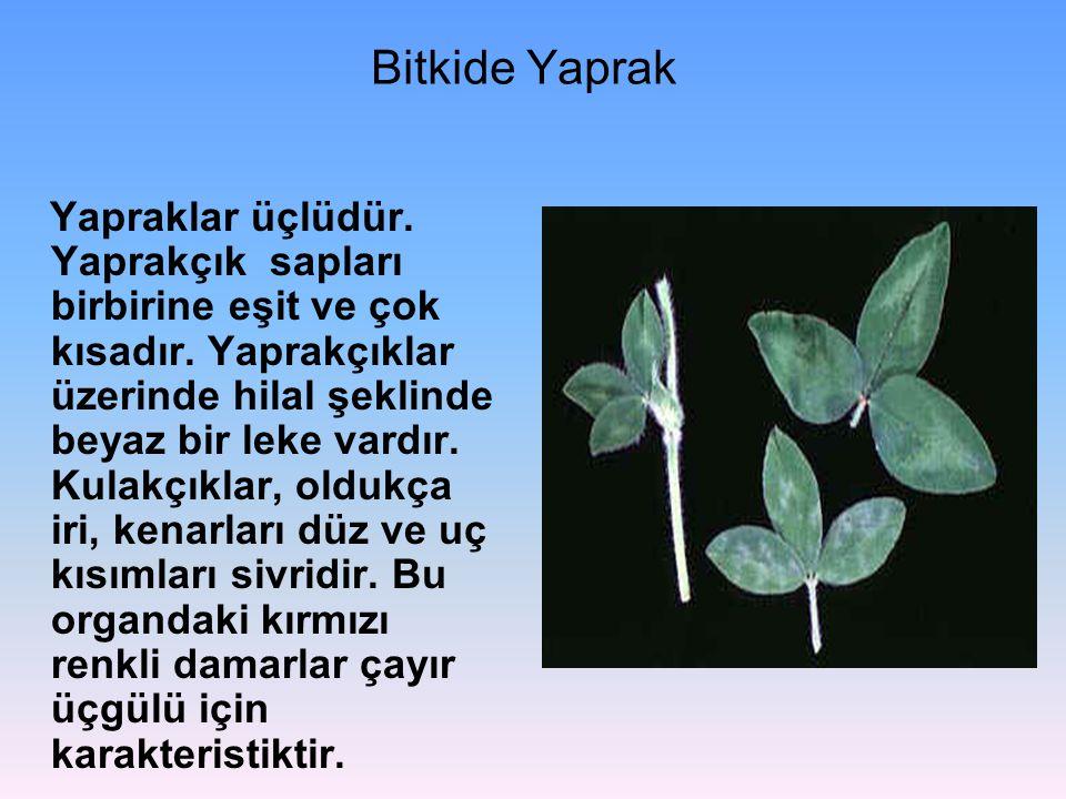 Bitkide Yaprak Yapraklar üçlüdür. Yaprakçık sapları birbirine eşit ve çok kısadır. Yaprakçıklar üzerinde hilal şeklinde beyaz bir leke vardır. Kulakçı