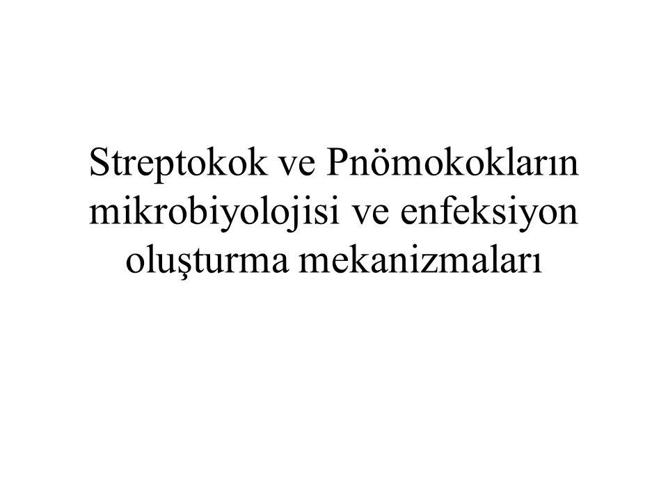 Streptococcaceae ailesinde, –Streptococcus cinsi –Enterococcus cinsi