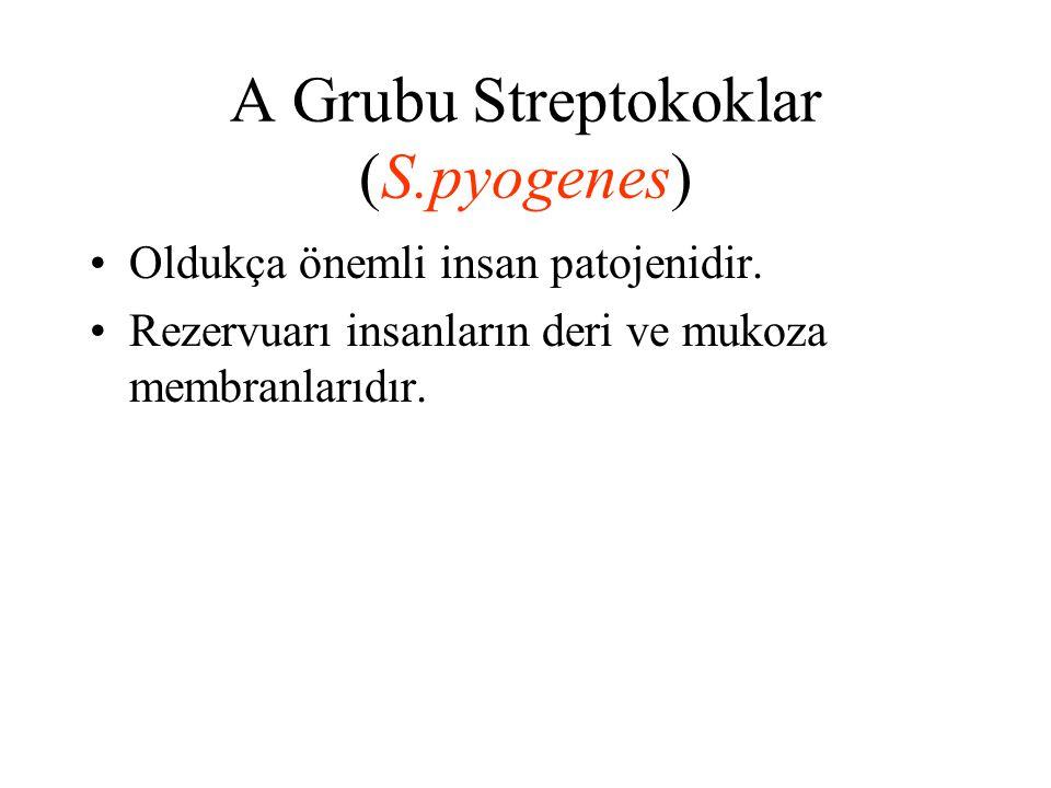 A Grubu Streptokoklar (S.pyogenes) Oldukça önemli insan patojenidir. Rezervuarı insanların deri ve mukoza membranlarıdır.