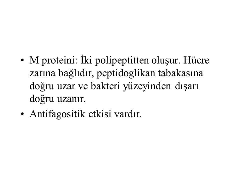 M proteini: İki polipeptitten oluşur. Hücre zarına bağlıdır, peptidoglikan tabakasına doğru uzar ve bakteri yüzeyinden dışarı doğru uzanır. Antifagosi