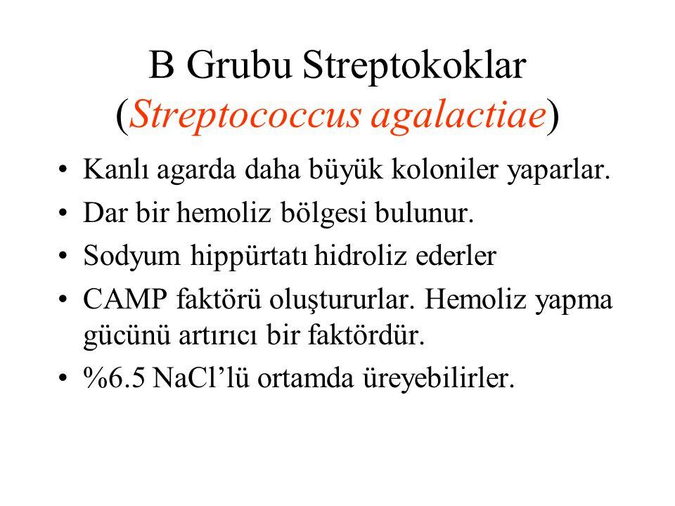 B Grubu Streptokoklar (Streptococcus agalactiae) Kanlı agarda daha büyük koloniler yaparlar. Dar bir hemoliz bölgesi bulunur. Sodyum hippürtatı hidrol
