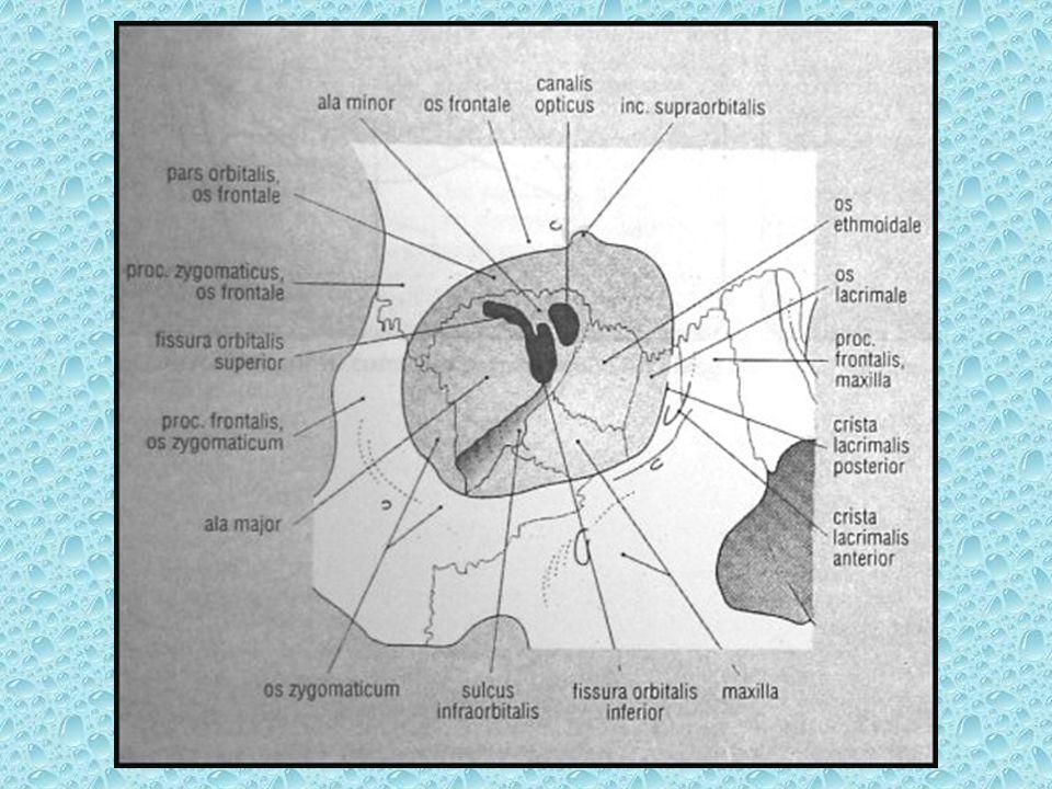 ORBİTA İÇERİSİNDEKİ YUMUŞAK DOKULAR Bulbus okuli Palpebralar Rektus kasları: Medial, lateral, süperior, inferior, süp oblik inferior oblik ve levator palpebra kası Optik sinir oftalmik ven Retrobulber yağ dokusu