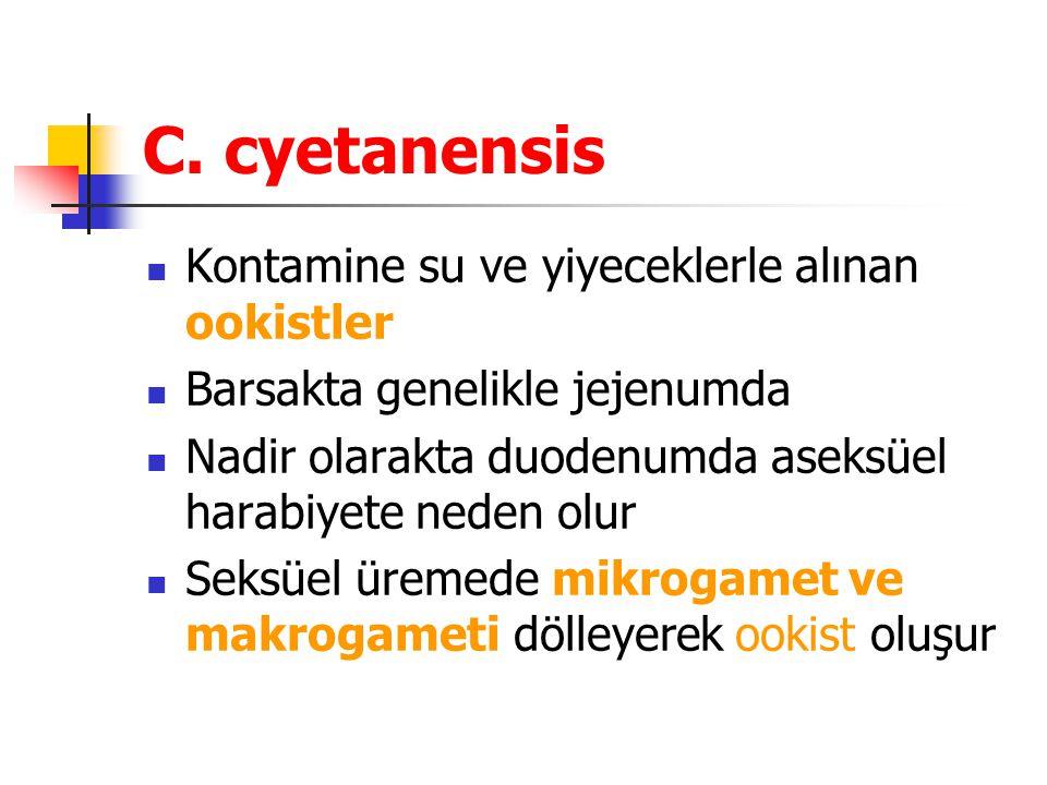 C. cyetanensis Kontamine su ve yiyeceklerle alınan ookistler Barsakta genelikle jejenumda Nadir olarakta duodenumda aseksüel harabiyete neden olur Sek