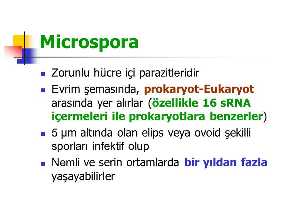 Microspora Z orunlu hücre içi parazit leridir E vrim şemasında, prokaryot-Eukaryot arasında yer alırlar (özellikle 16 sRNA içermeleri ile prokaryotlara benzerler) 5 µm altında olan elips veya ovoid şekilli sporları infektif olup Nemli ve serin ortamlarda bir yıldan fazla yaşayabilirler