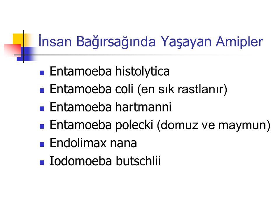İnsan Bağırsa ğında Yaşayan Amipler Entamoeba histolytica Entamoeba coli (en sık rastlanır) Entamoeba hartmanni Entamoeba polecki (domuz ve maymun) Endolimax nana Iodomoeba butschlii