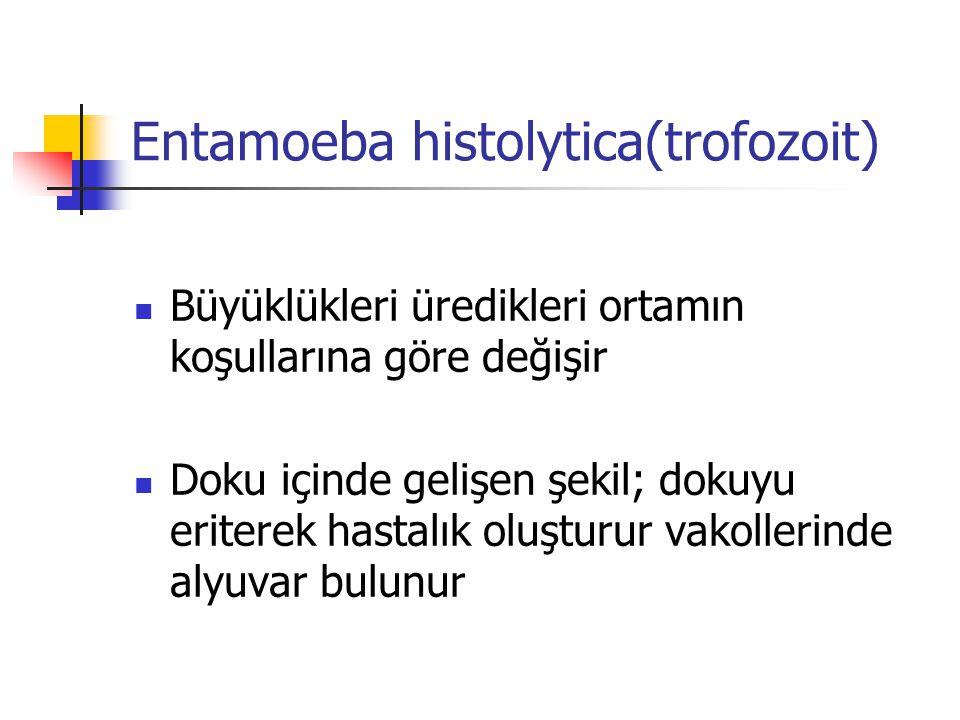Entamoeba histolytica(trofozoit) Büyüklükleri üredikleri ortamın koşullarına göre değişir Doku içinde gelişen şekil; dokuyu eriterek hastalık oluşturur vakollerinde alyuvar bulunur