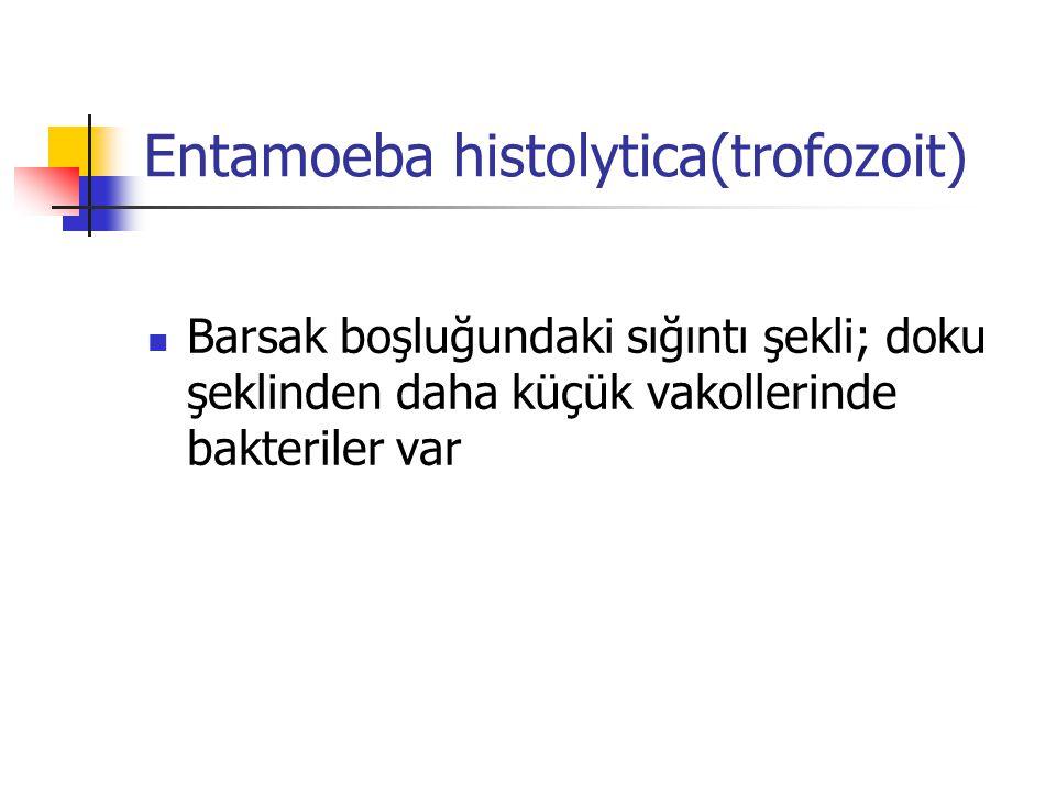 Entamoeba histolytica(trofozoit) Barsak boşluğundaki sığıntı şekli; doku şeklinden daha küçük vakollerinde bakteriler var