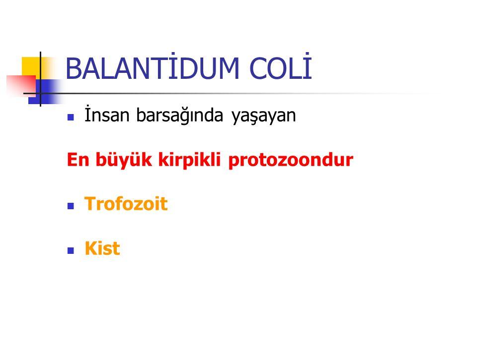 BALANTİDUM COLİ Trofozoitlerin silerle kaplı Makronükleus Mikronükleus