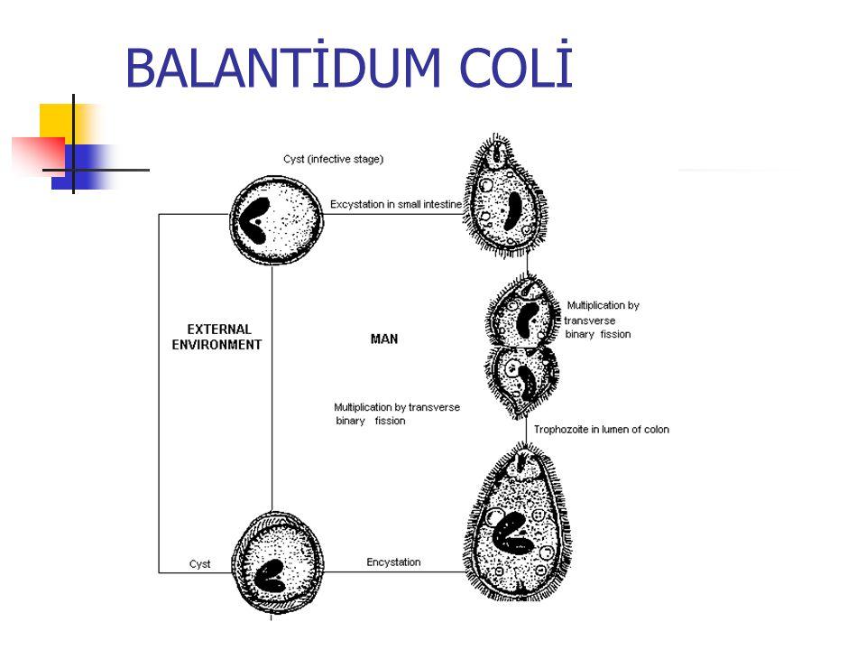 Giardia intestinalis (lamblia) Giardia, duodenum ile biliyer sisteme yerleşir Sindirim bozuklukları İshal Safra kesesi Safra yolları hastalık oluşturur