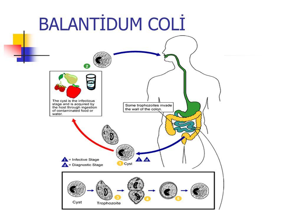 Giardia intestinalis patogenezi Parazitin virulansına Parazit sayısına Yaşa Dirence göre değişir Duodenum mukozasına yapıştığında intestinal absorbsiyonu engeller Yağ ve A vitamini emilimi ni boz ar