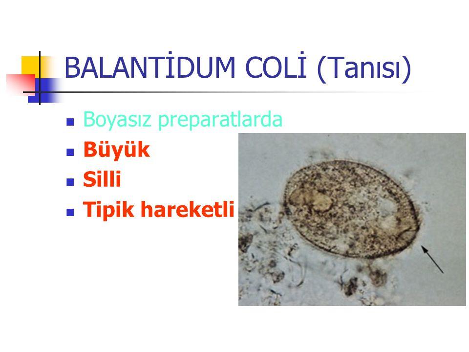 BALANTİDUM COLİ (Tanısı) Boyalı preperatlarda Makronükleus Mikronükleus