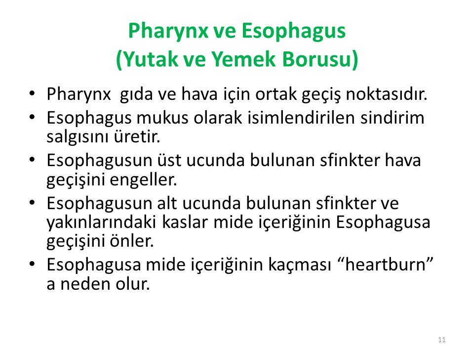 Pharynx ve Esophagus (Yutak ve Yemek Borusu) Pharynx gıda ve hava için ortak geçiş noktasıdır. Esophagus mukus olarak isimlendirilen sindirim salgısın